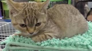 Кэтсбург 2017.  Необычные породы кошек. Смешные котята. Награждение.