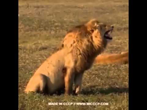 Мультфильм сумасшедший лев