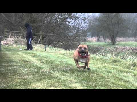 Staffordshire Bull Terrier Sporting Club NL - DSA Tournament 2013 V2