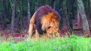 Amazing Lion lovers (sex)