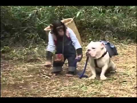 Chó và khỉ thông minh ở nhật bản 3