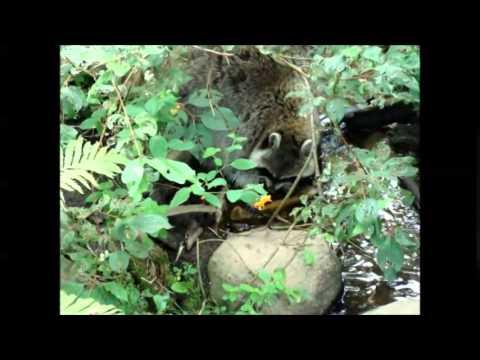 raton laveur raccoon Zoo sauvage de St Félicien