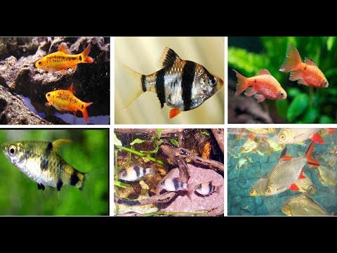 Popular Barbs Fish For Aquarium
