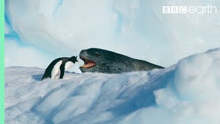 Tiny Penguin Makes a Deadly Dash From Giant Leopard Seal | Seven Worlds, One Planet | BBC Earth
