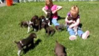Akc German Shorthaired Pointer Puppies