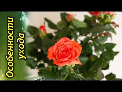 КОМНАТНАЯ РОЗА! Особенности ухода. Как правильно выращивать розы на подоконнике!