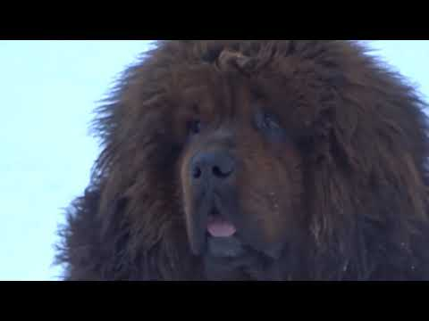 Tibetan Mastiff Imported, King Louey 15 Months ! Pure Chinese Bloodlines Not American T.M.
