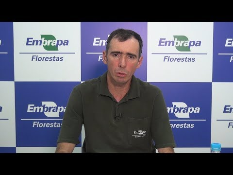 Enxertia de araucária para a produção de pinhão - Florestas Online