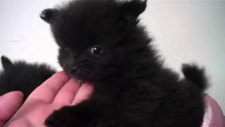 Candylandpoms  Black Teddy Bear Poms  Pomeranians For Sale In Houston Texas