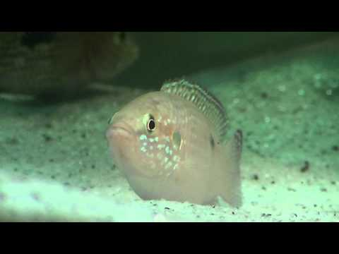 Fish Species Episode 5 - Jewel Cichlid