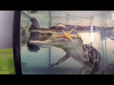 Feeding The Gator Live Chicks
