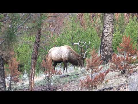 Roadside Wildlife in West Yellowstone - Elk & Buffalo