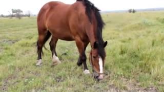 Продаются 22 головы лошадей-тяжеловозов