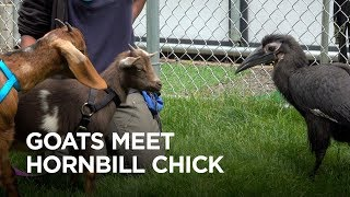 Tiny Goats Visit Hornbill Chick