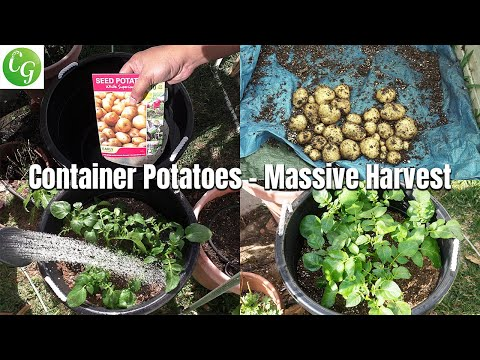 Growing Potatoes In Containers - BIG Harvest!