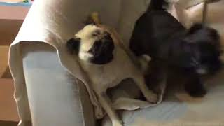 パグ vs. シーズートイプーのハーフ犬.