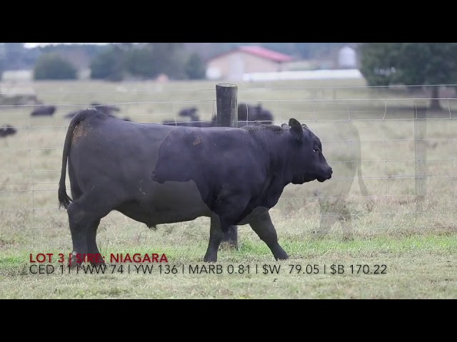 Edgewood Angus Lot 3