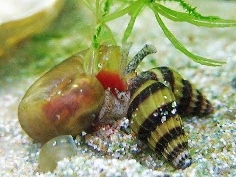 Как избавиться от улиток катушек в аквариуме с помощью хищных улиток Хелен. Личный опыт.