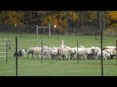 Austin working sheep at Hado Bar Nov 2, 2013
