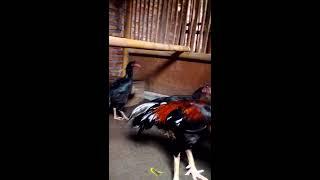 Peternak Ayam Bangkok