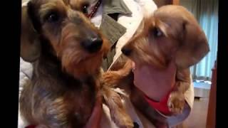 WIRE HAIRED MINIIATURE DACHSHUND with 4children bone 9days.