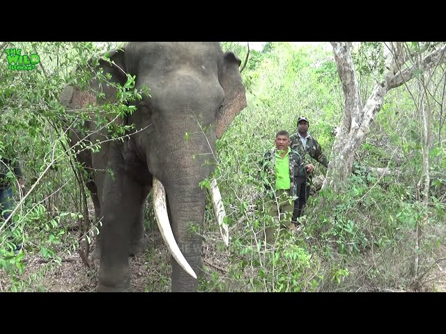 A tusker treated for infected injuries