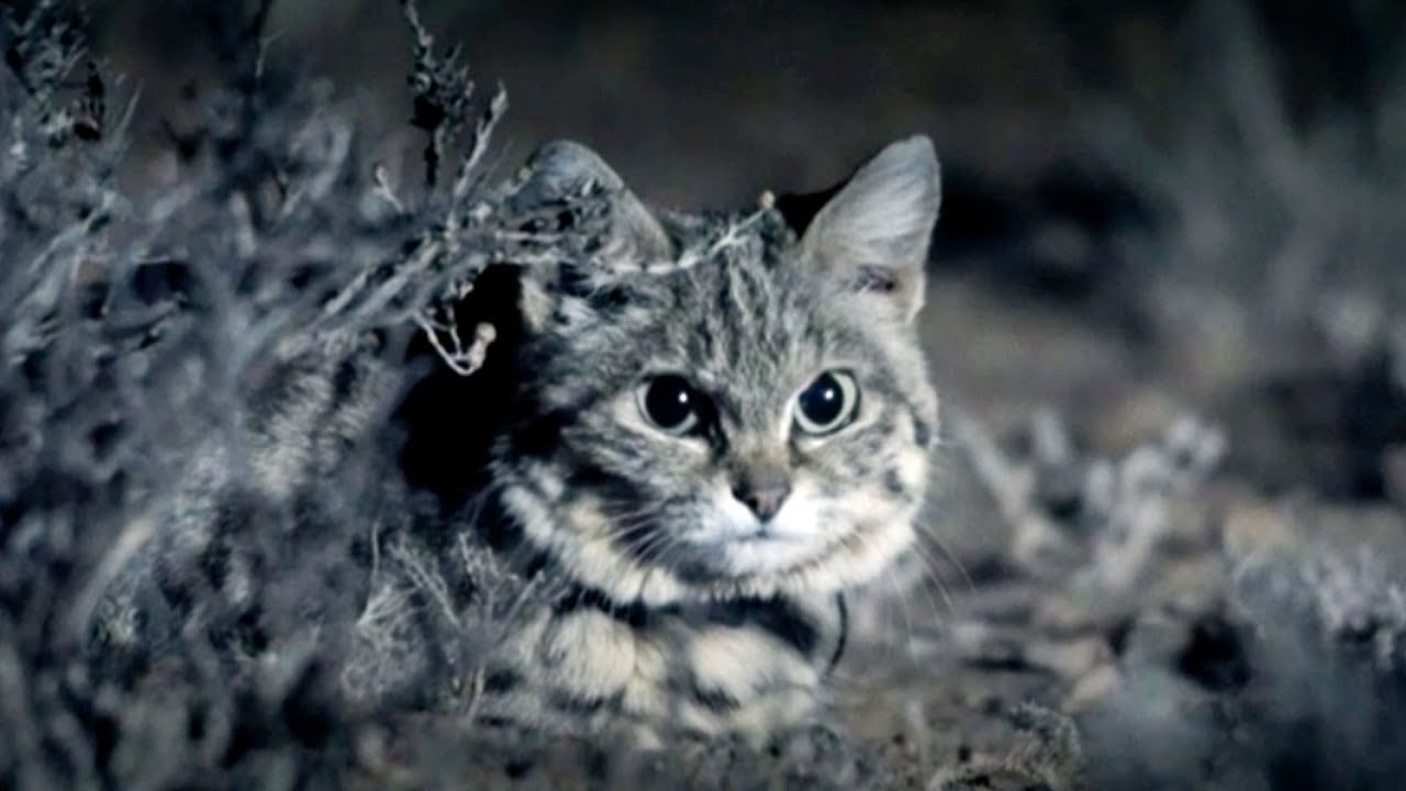 Meet the smallest wild cat in the world 55