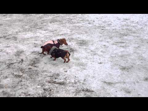 Dachshunds at dog park