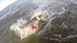 Striped Bass Fly Fishing - Early BACK-FLATS Springtime Action