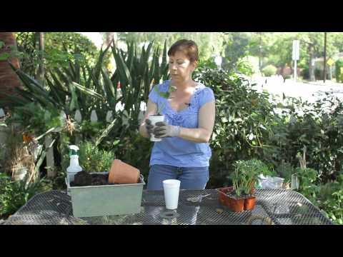 How to Grow Strawberries in Styrofoam : Garden Space
