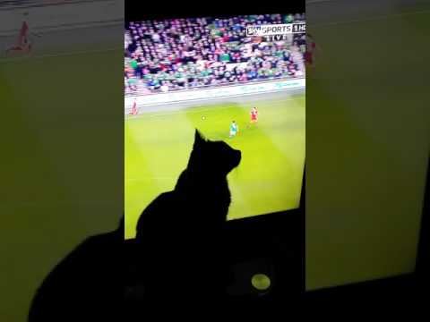 My bombay cat benny watching the footy Wales v r lreland he wants to catch the ball lol ❤❤❤