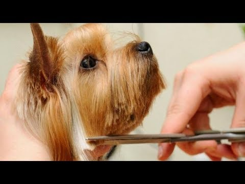 Easy Grooming Yorkshire Terrier 2019 (Step by Step)