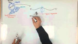 Protein Synthesis and the Rough Endoplasmic Reticulum
