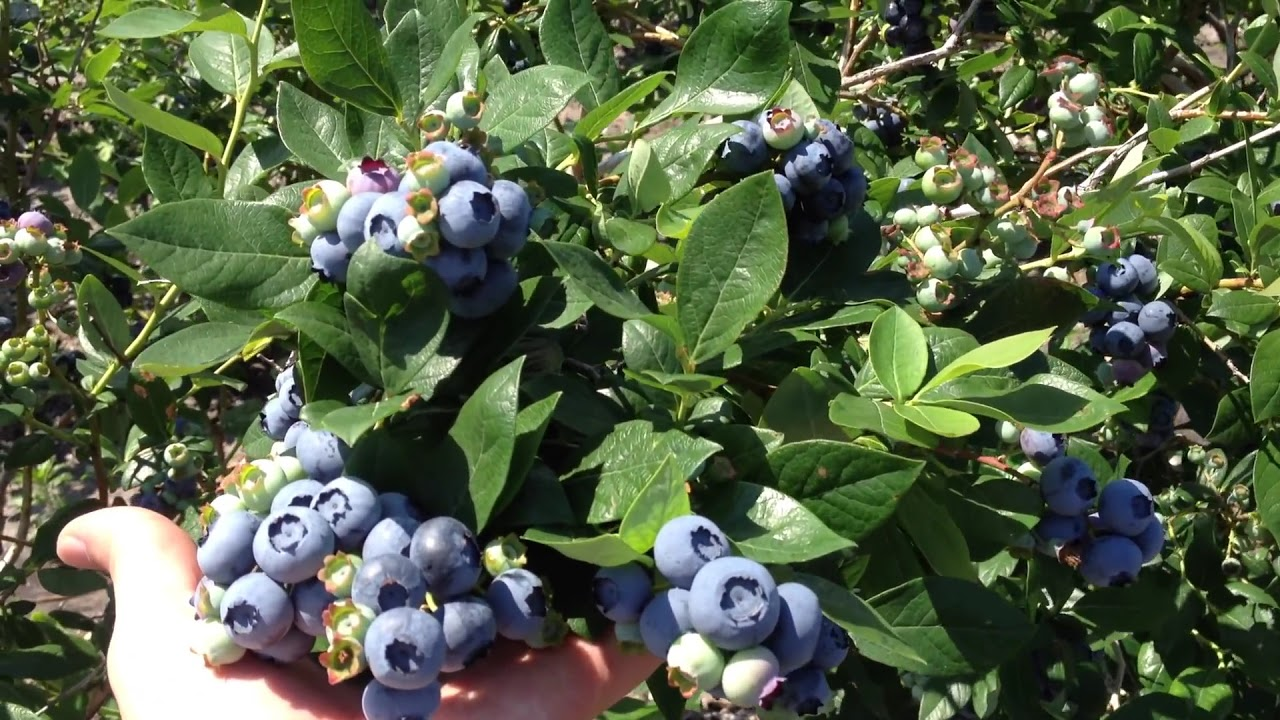 Grow Giant Organic Blueberries On Dimeo Blueberry Bushes