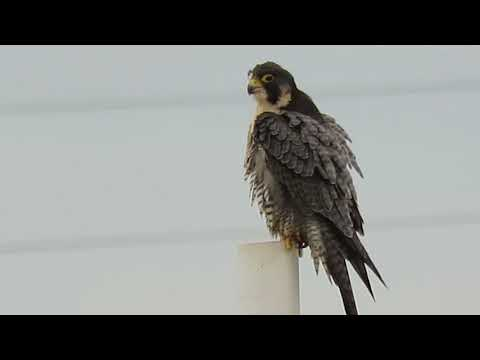 Copy of 01/17/16 RHM Peregrine Falcon at 59 PL S & 68 AVE S @ Kent, Wa