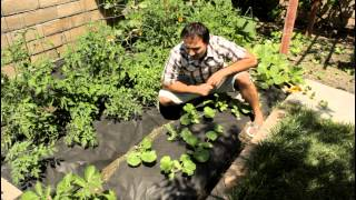 Crookneck Squash Garden Growing Tips with California Gardener