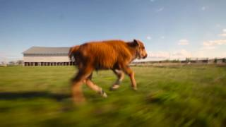 Repeat youtube video Reggie the Baby Bison