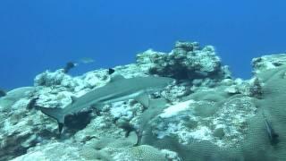Shark at Vertigo in Yap Island ヤップ島 検索動画 38