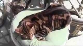 Bengal Cats Girls Behaving Badly