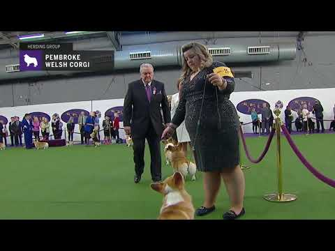 Pembroke Welsh Corgis | Breed Judging 2019