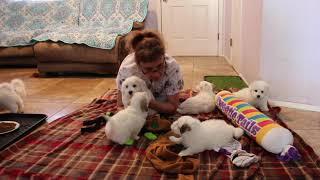Coton Puppies For Sale - Kara 5/24/21