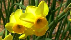 Spring Has Arrived: Daffodils Bloom at the Chicago Botanic Garden