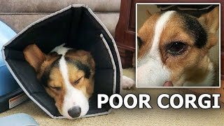 POOR CORGI ATTACKED BY MEAN DOG - Life After College: Ep. 448