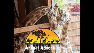 Oliver \u0026 Johari Giraffe Cam - Animal Adventure Park