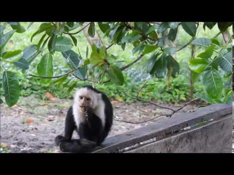 White-faced Capucin on ride to Cuero y Salado Wildlife Refuge in Honduras