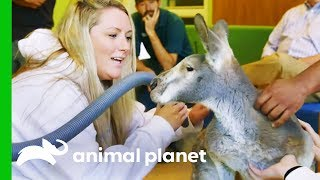 Dave The Kangaroo Gets Cryotherapy Treatment For His Arthritis | The Zoo