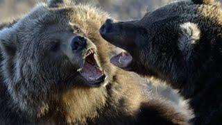 В мире животных. Медведи