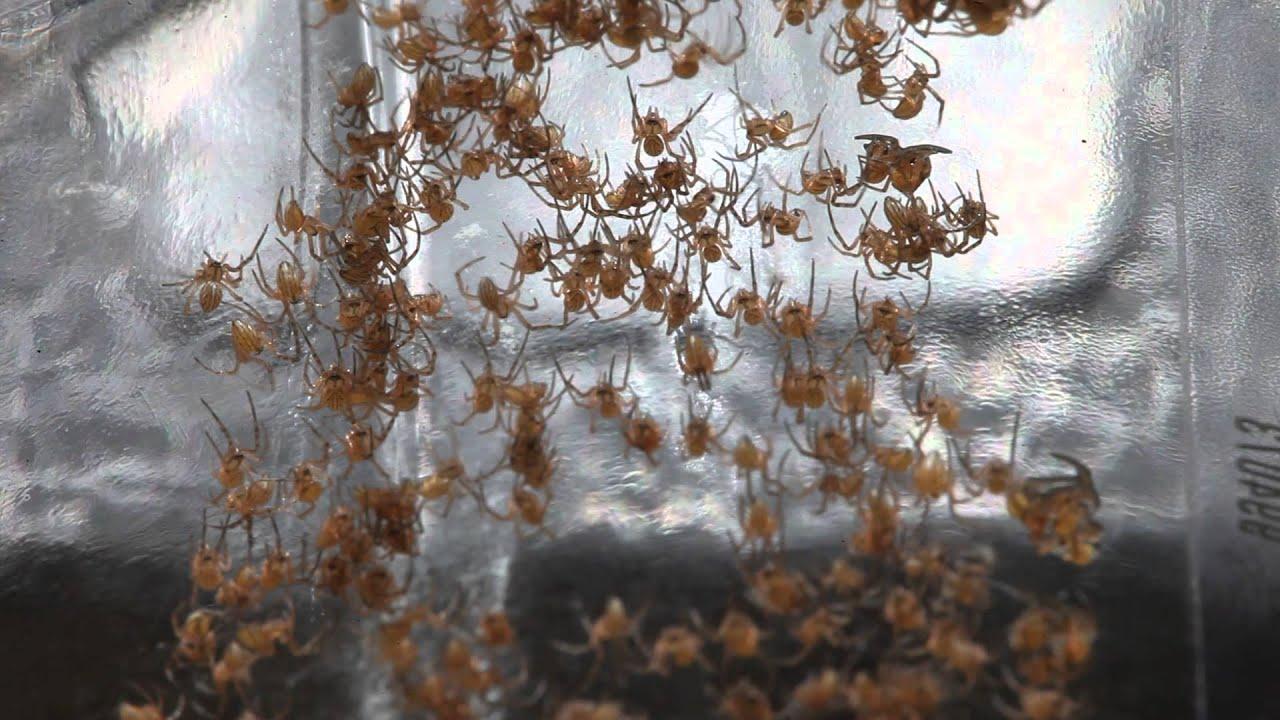 Baby brown widow spider