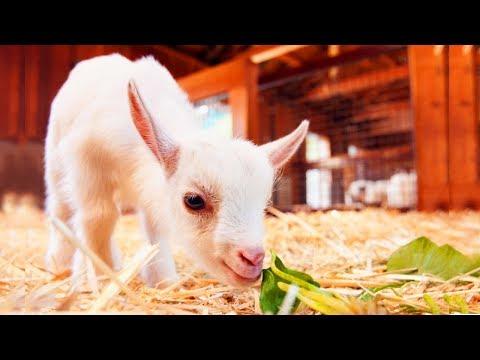ВЛОГ Настя на Городской Ферме Кормит Животных Видео для Детей Развлекаемся на Ферме Овец