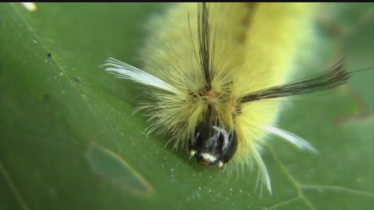 Poisonous stinging hair caterpillars can cause itchy for What does a caterpillar rash look like